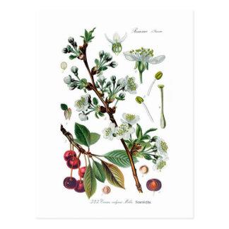 Postal Cerasus vulgaris (cereza)