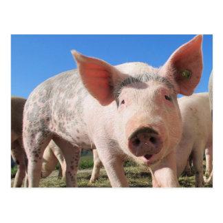 Postal Cerdo adorable Oink