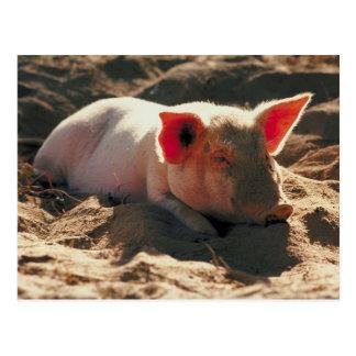 Postal Cerdo en el Sun