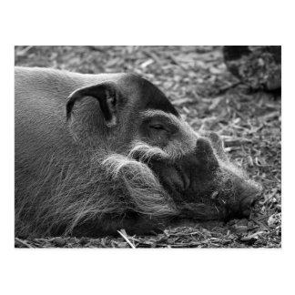 """Postal """"Cerdo vietnamita el dormir """""""