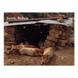 Postal Cerdos en Sucre, Bolivia