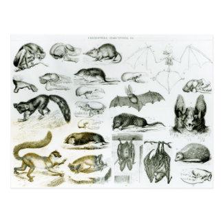 Postal Cheiroptera, Insectivora