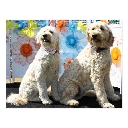 Postal Chester y Lilly - GoldenDoodle -7