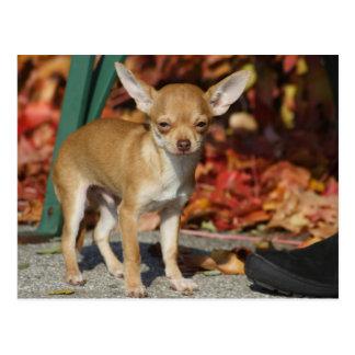 Postal Chihuahua dulce de Charlie