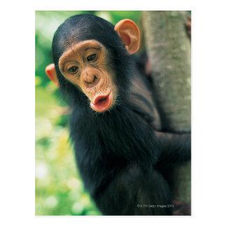 Postal Chimpancé joven (trogloditas de la cacerola)