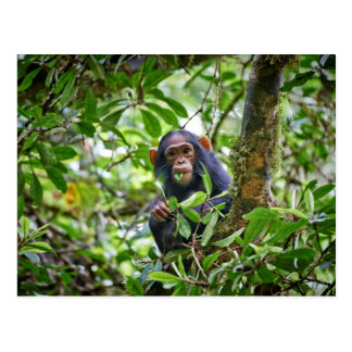 Postal chimpancé juvenil de alimentación lindo