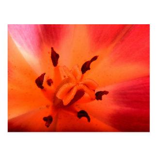 Postal Cierre hermoso para arriba del tulipán rojo