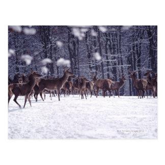 Postal ciervo común