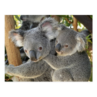 Postal Cinereus Queensland del Phascolarctos de la koala.