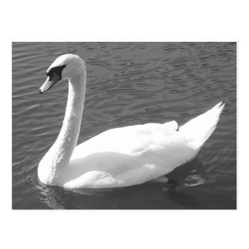 Postal - cisne en negro y blanco