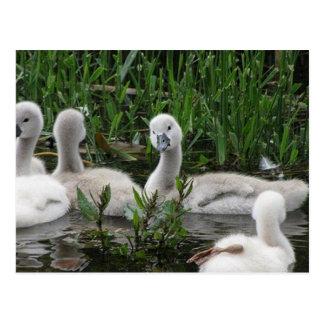 Postal Cisne en Wonder.jpg