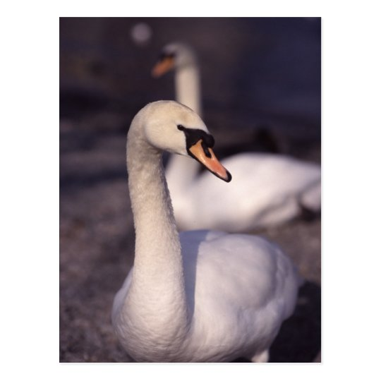 Postal Cisnes en el lago Windermere