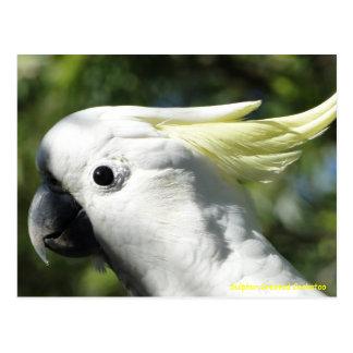 Postal Cockatoo con cresta del azufre