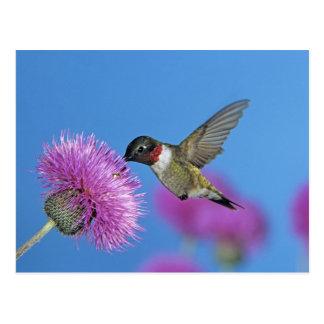 Postal colibrí Rubí-throated, Archilochus 4