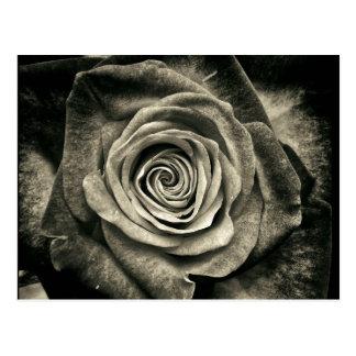 Postal Color de rosa blanco y negro del vintage