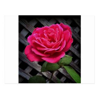 Postal Color de rosa rosado
