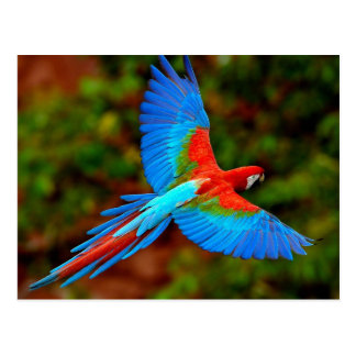 Postal Colorful Scarlet Macaw en flight