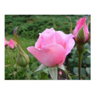 Postal con los rosas rosados hermosos