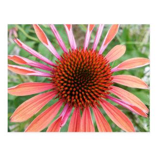 Postal Coneflower/postales de la flor del Rudbeckia