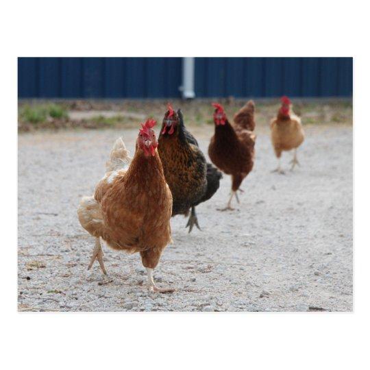 Postal corriente de las gallinas