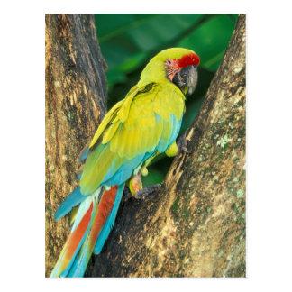 Postal Costa Rica, Ara Ambigua, gran Macaw. verde