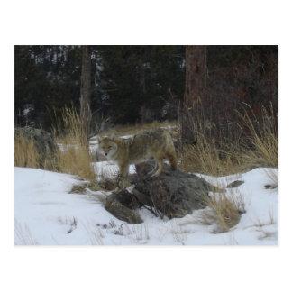Postal Coyote de la nieve de Colorado