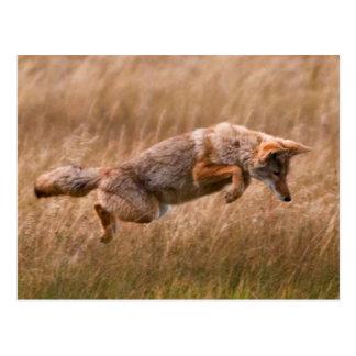 Postal Coyote que salta - prados del Gibbon