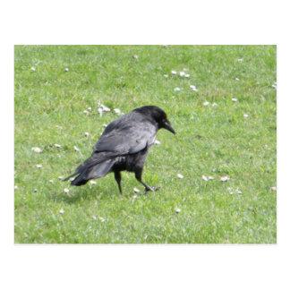 Postal Cuervo de Carrion negro