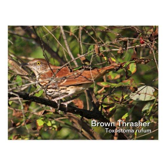 Postal de Brown Thrasher
