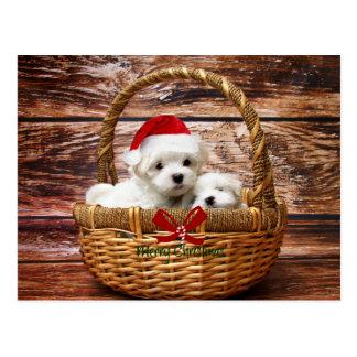 Postal de cachorros de Bichón Maltés en cesta de Navidad