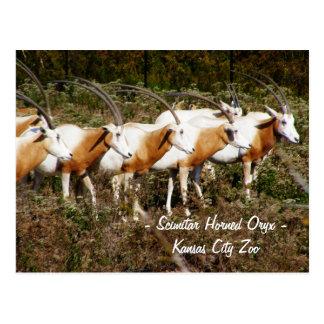 Postal de cuernos del Oryx del Scimitar