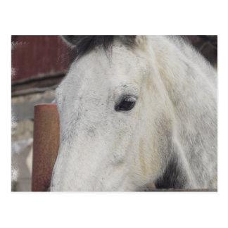 Postal de imágenes árabe blanca del caballo