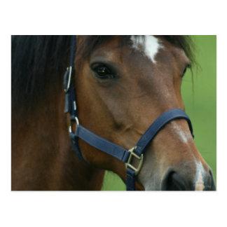 Postal de imágenes árabe del caballo