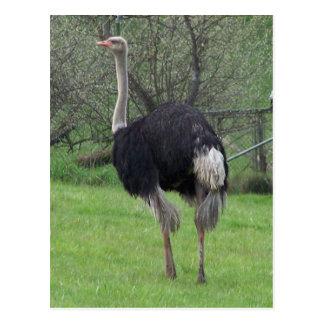 Postal de la avestruz