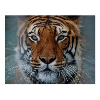 Postal de la cara del tigre