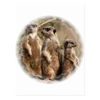 Postal de la familia de Meerkat