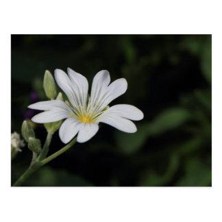 Postal de la flor blanca