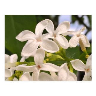 Postal de la foto de la flor blanca de la lila