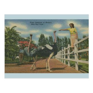 Postal de la granja del pájaro raro de la avestruz