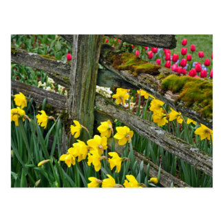 Postal de la impresión del narciso de la primavera