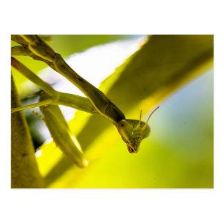 Postal de la mantis religiosa