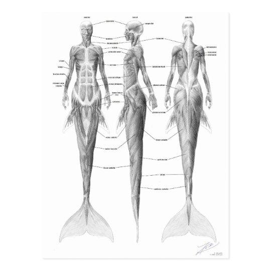 Postal de la musculatura de la sirena