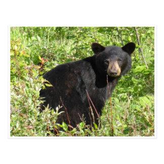 Postal de la naturaleza del oso negro