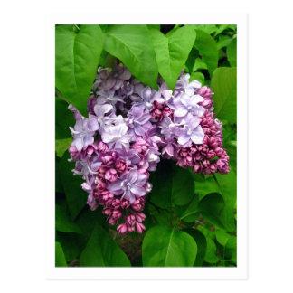 Postal de las lilas