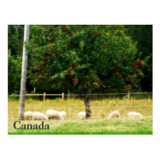 Postal de las ovejas - Canadá