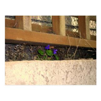 Postal de las violetas