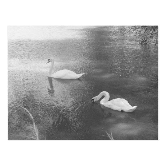 Postal de los cisnes de la natación