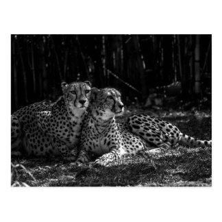Postal de los guepardos