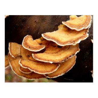 Postal de los hongos de Stereum Hirsutum