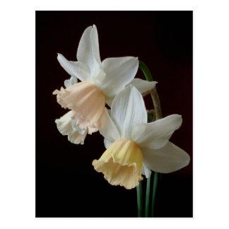 Postal de los narcisos de la primavera